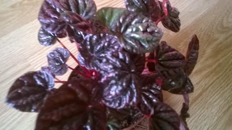 peperomia Pieprovec fialová  1x mládnik ,
