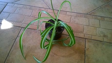 štep izb.kvetu Chlorophytum Bonnie ,