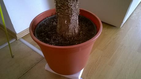 Strom Yucca Aloifolia so španielska 10ročná 1,20m ,