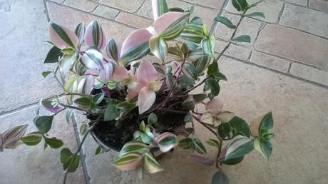 Tahavý izb.kvet Tradescantia Quadricolor mládniky ,
