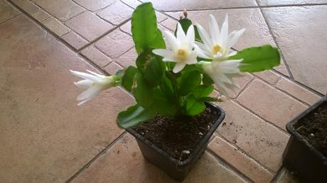 Velkonočný kaktus/ mládnik/biely kvet ,