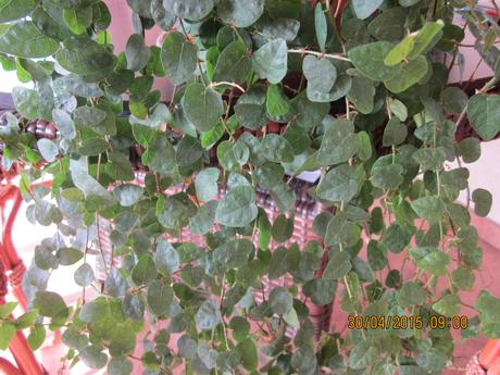 Zelený figovník izbovy kvietok/ popínavý štepy  ,