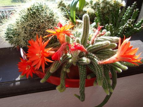Kaktus,