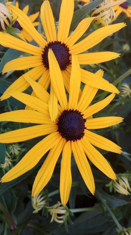 rudbekia žltá - čierne očko,