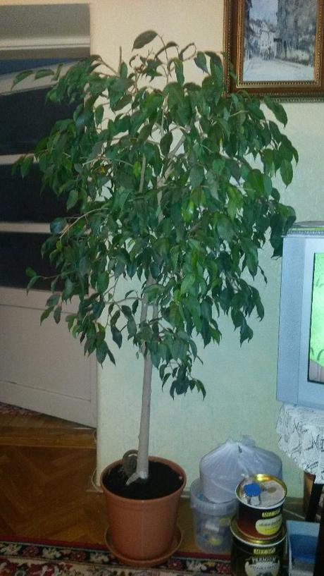 Ficus benjamin 170 cm vysoký,