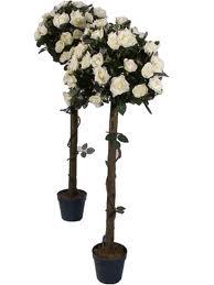 Krík ruží - farba ivory - Prenájom,