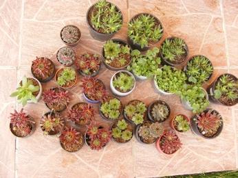 skalné ruže, rôzne veľkosti a druhy,