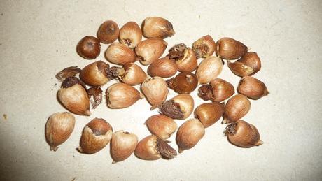Acidantera dvojfarebná (Acidanthera bicolor) 30 ks,