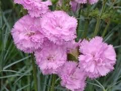 Dianthus plumaris Rose de Mai,