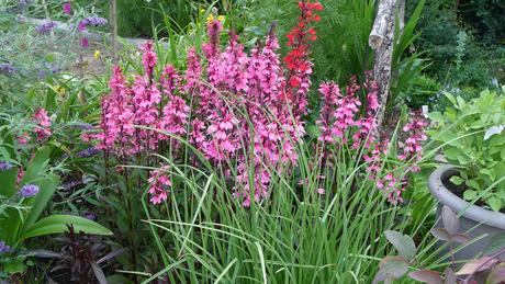lobelia speciosa ruzova v trse asi 4 rastlinky,