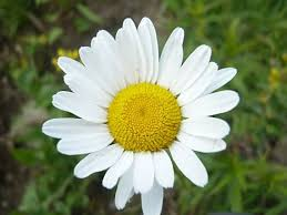 lucna  margareta biela 5 rastiniek /trs ,