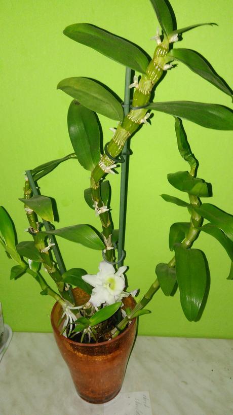 Dendrobium nobile,