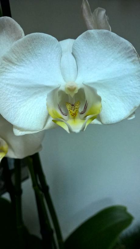 Phalaenopsis,