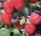 červené maliny s trňami,