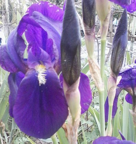 fialové kosatce,