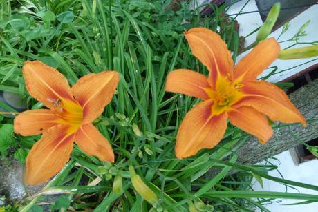 oranžové ľaliovky,