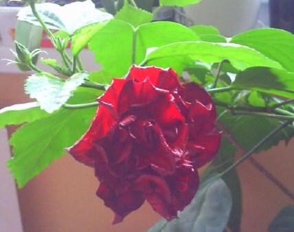 plnokvetá čínska ruža,