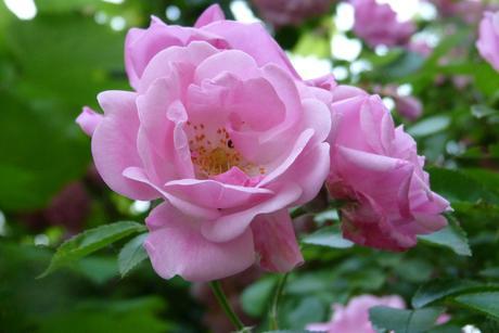 ťahavé ruže -ružové - semená,