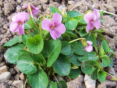 Ružové záhradné fialky,