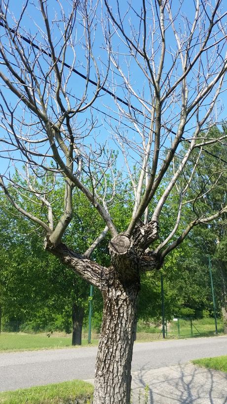 starý strom orech,