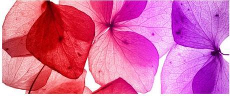 Obraz na plátne 38x100cm LUPENE červeno-fialový,