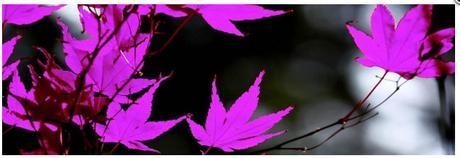 Obraz na plátne 45x140cm JAVOROVÉ LISTY fialovo-či,