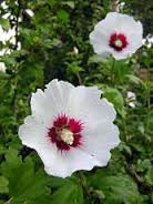 Ibištek biely, ružový ,fialový ,