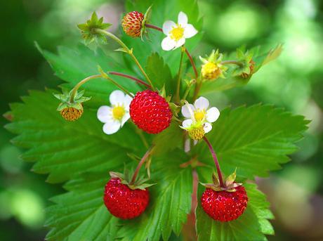 Lesné jahody,