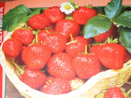 Stáleplodiace jahody Ostara - 10 ks,