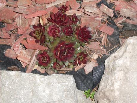 Tri druhy skalných ruží ,