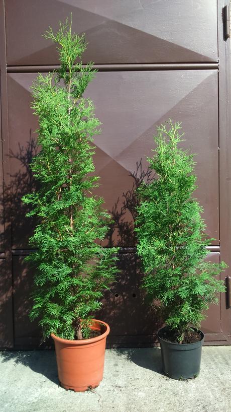 Tuja záhradná výška 160-170 cm ,