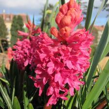 mam rada cervene hyacinty a ta vune...