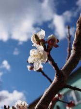 merunka letos kvetla hrozne bidne, jestli to klapne a kvety nepomrzli, budeme mit asi 5 merunek...