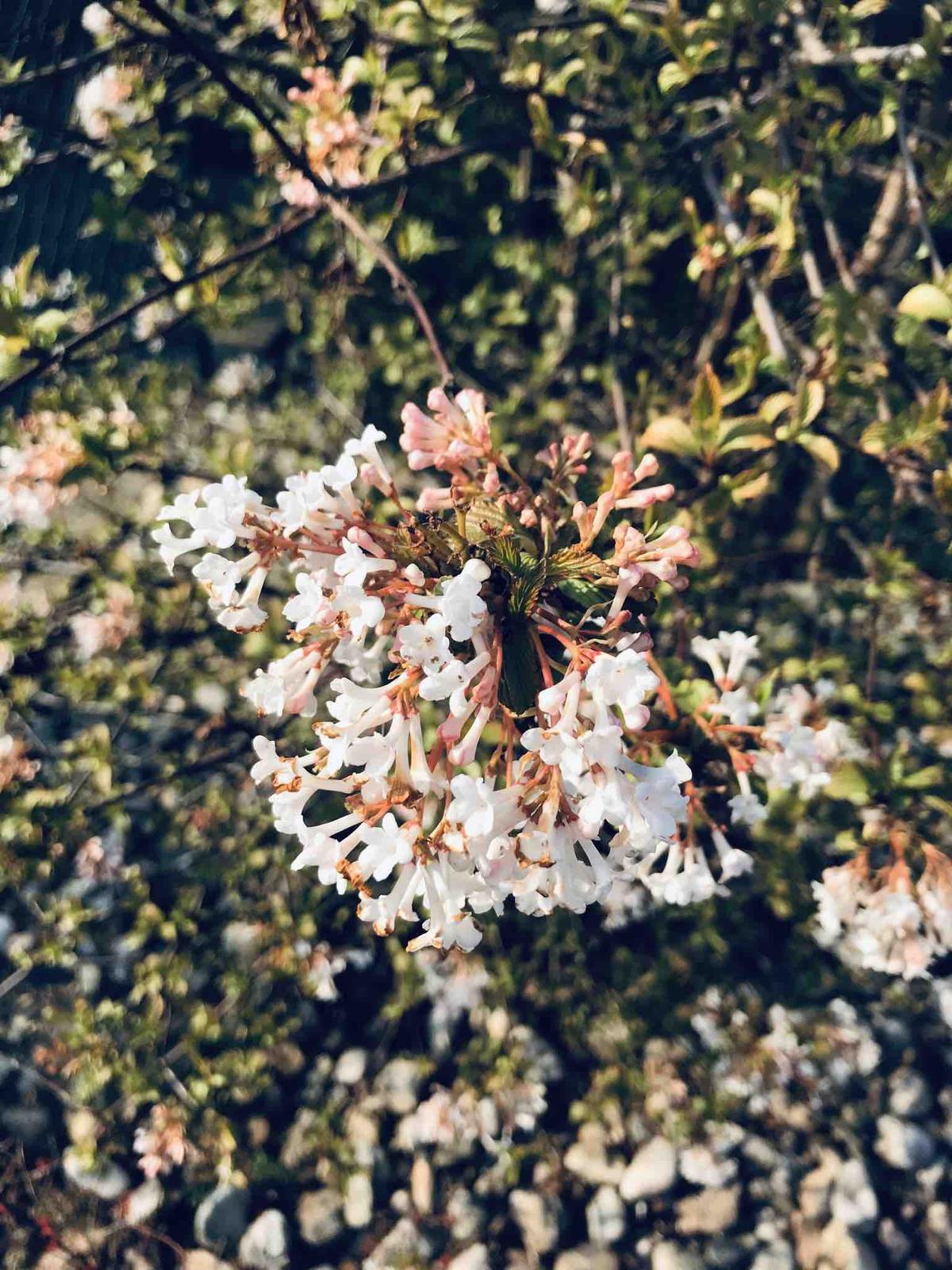 Naše barevná zahrada 🌸 - Kalina vonná-krásně kvetla celou zimu a teď pokračuje 🌸 a ta vůně