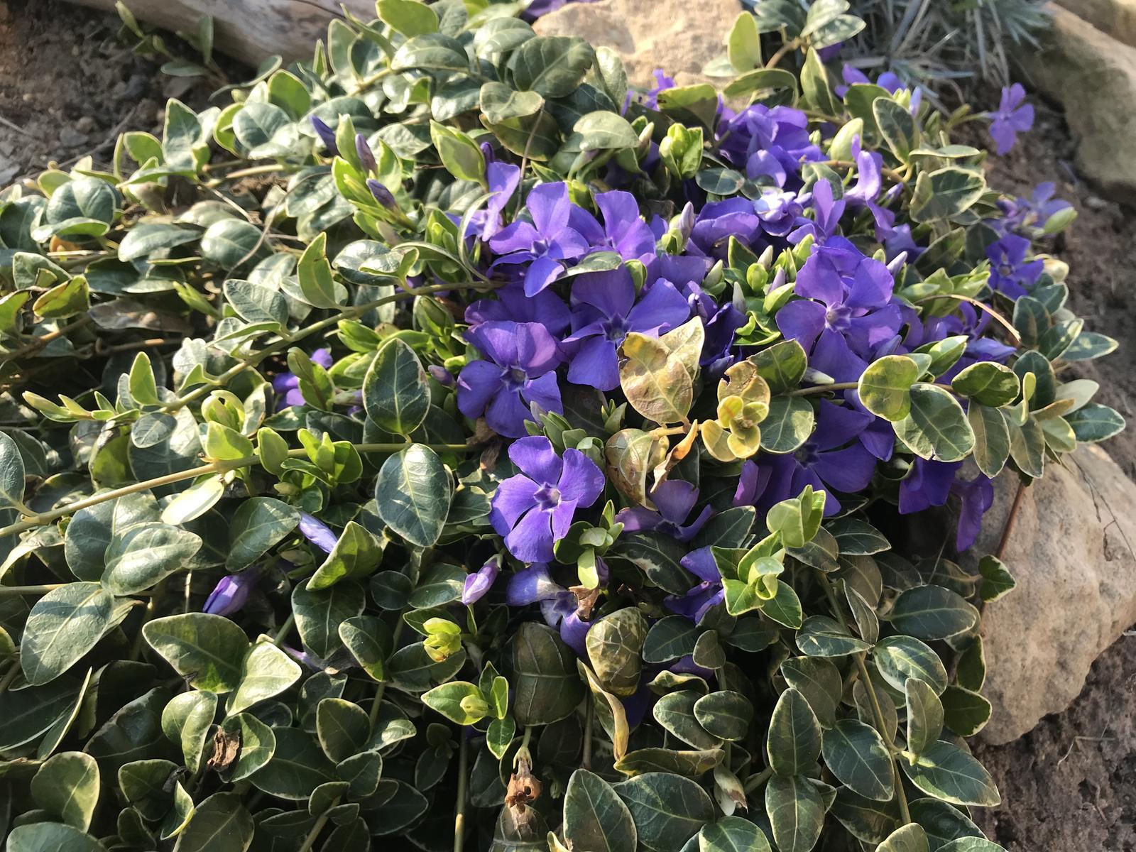 Naše barevná zahrada 🌸 - Barvínky mám různě po zahradě a jak krásně kvetou