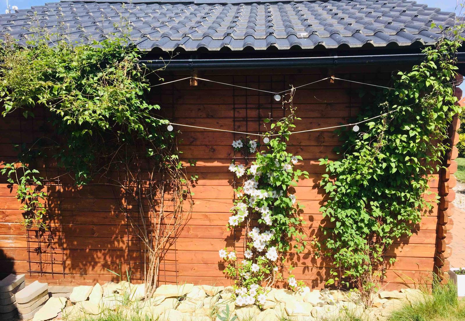 Naše barevná zahrada 🌸 - Clematisy na zahradním domečku, každý kvete v jinou dobu