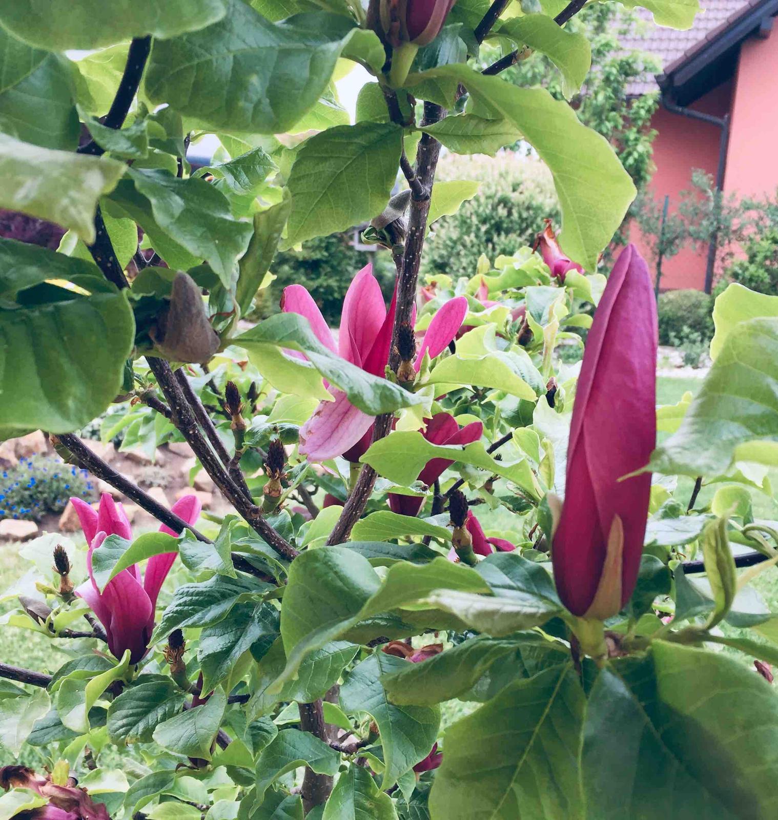 Naše barevná zahrada 🌸 rok 2020 - Magnolie Nigra-aktuální foto-kvete už více jak tři týdny