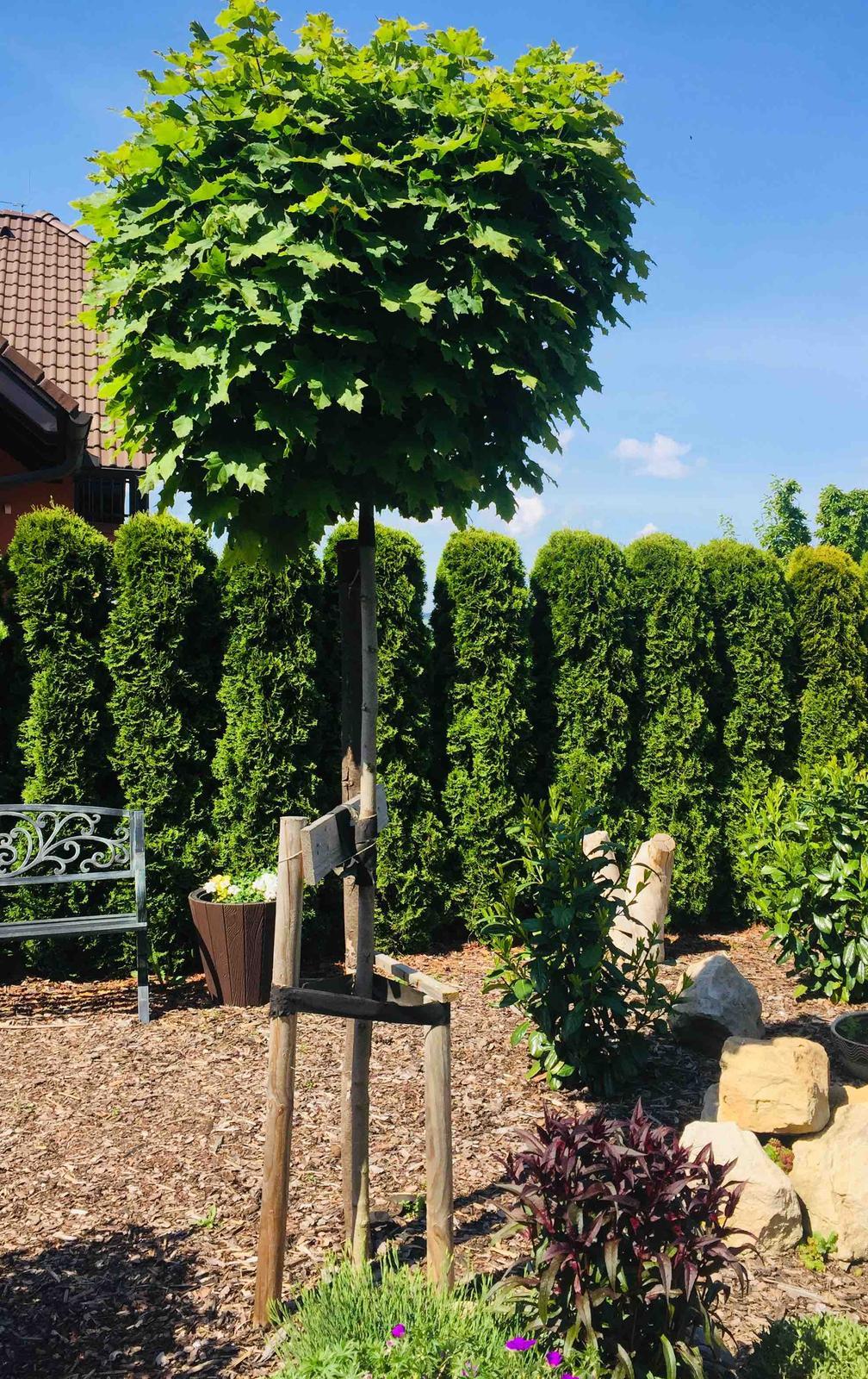 """Naše barevná zahrada 🌸 - V tomto """"obřím"""" javoru budou bydlet kosáčci 🙉"""