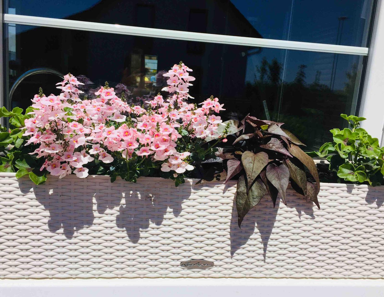 Naše barevná zahrada 🌸 rok 2020 - Na stranách převislý muškát - nekvete, stále zaštipuji, tmavý batát a diascie-ta zatím kvete krásně