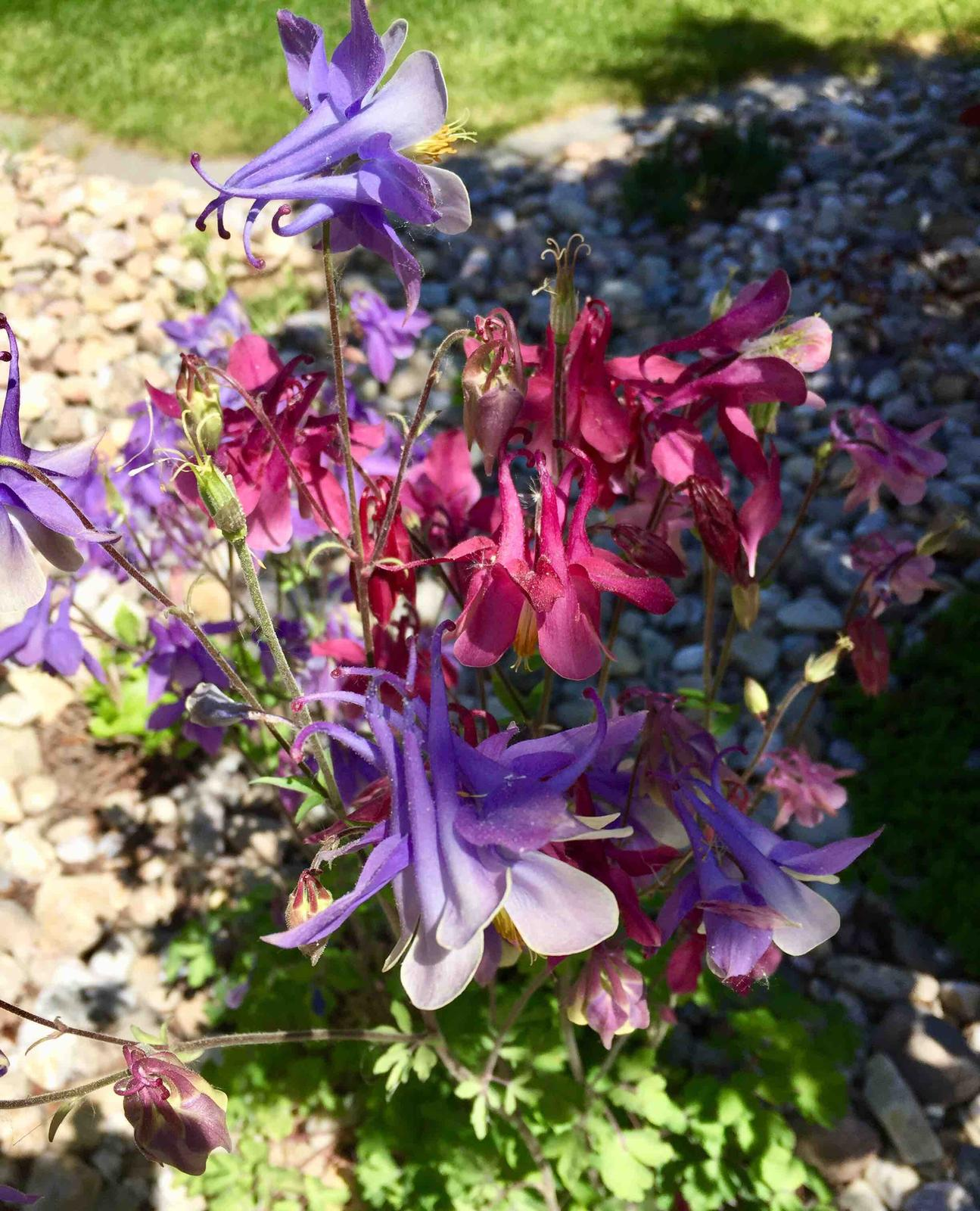 Naše barevná zahrada 🌸 - Orlíček darovaný od tety, z jednoho trsu kvetou tři různé barvičky 🤗