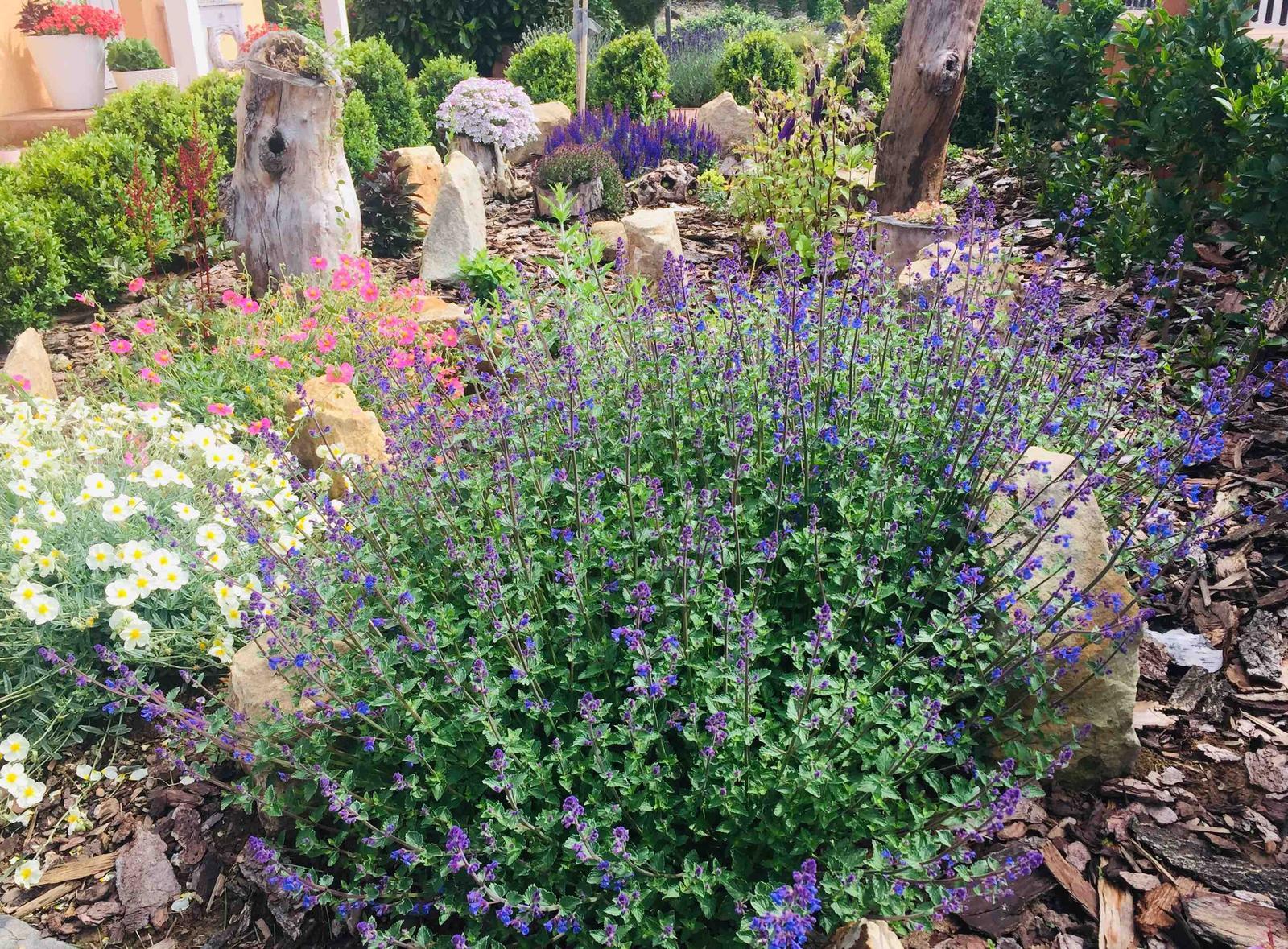 Naše barevná zahrada 🌸 - Šanta se tedy pěkně rozjela, zasazená loni v září, takové dvě mini rostlinky to byly 🙉