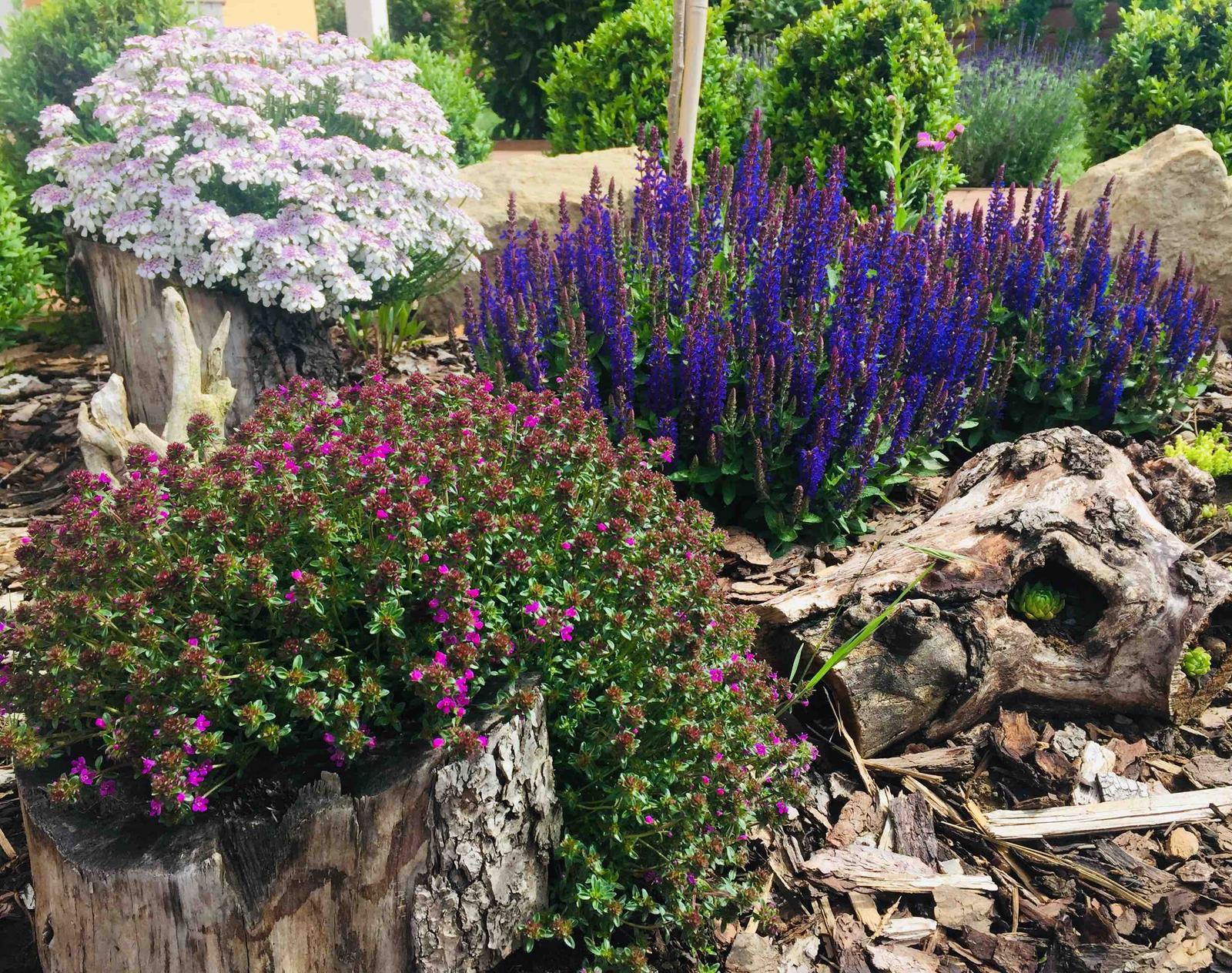Naše barevná zahrada 🌸 - Bílá iberka stále kvete, přidala se šalvěj a začíná kvést mateřídouška 🤗
