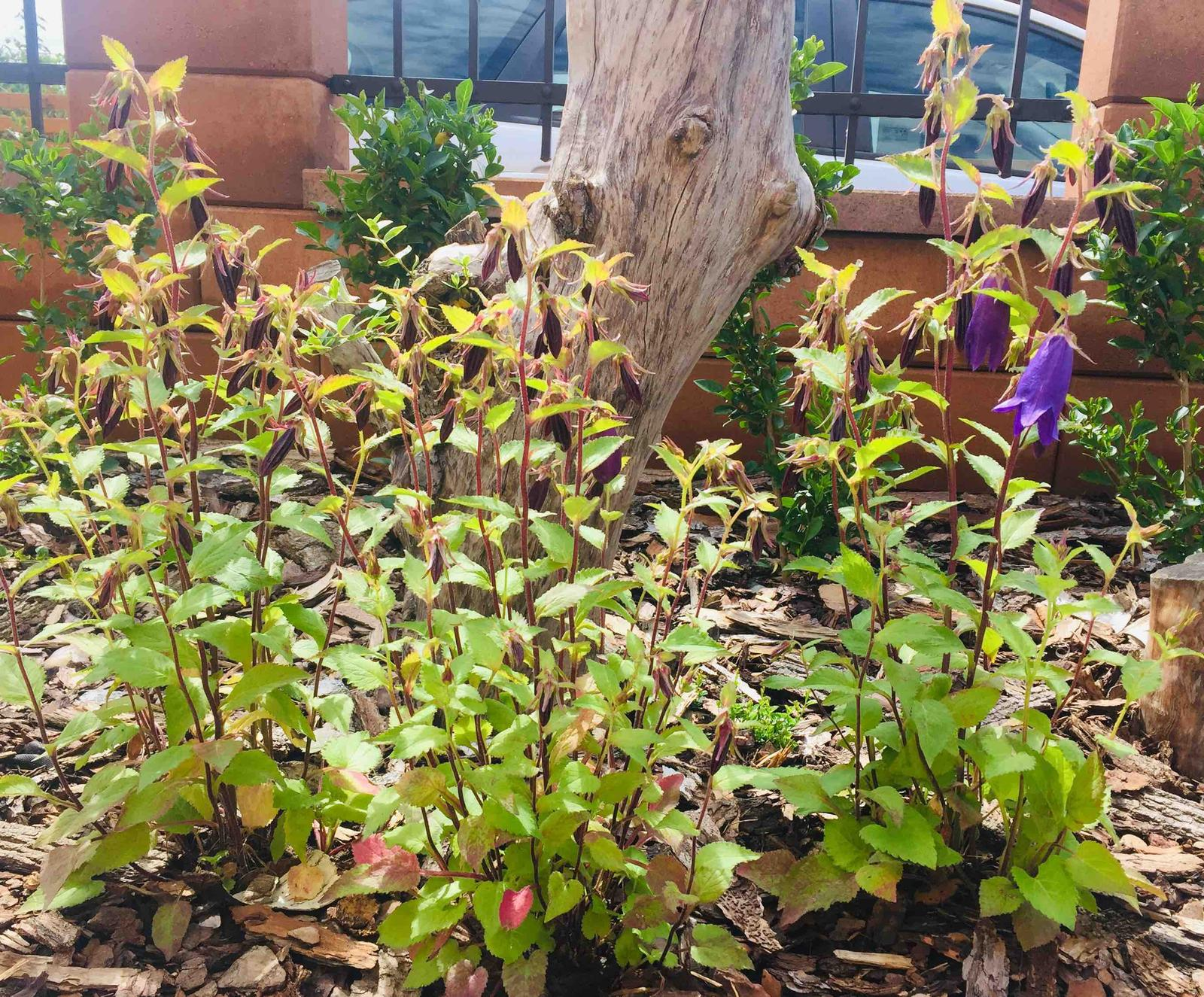 Naše barevná zahrada 🌸 - Zvonek zahradní