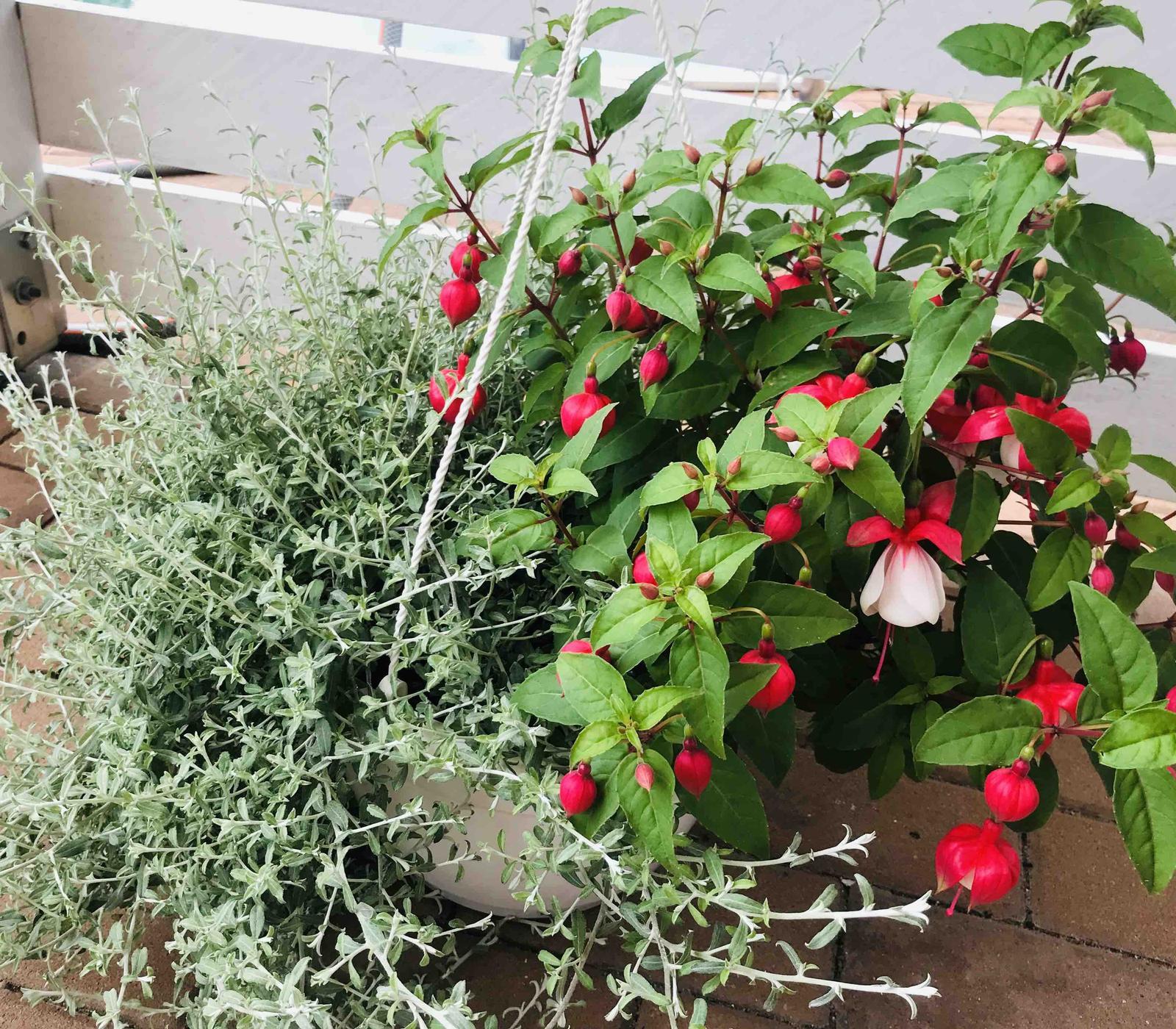 Naše barevná zahrada 🌸 - Tyhle závěsné mám jen dva a už přemýšlím, kam ty fuchsie ještě pořídím příští rok 🌸