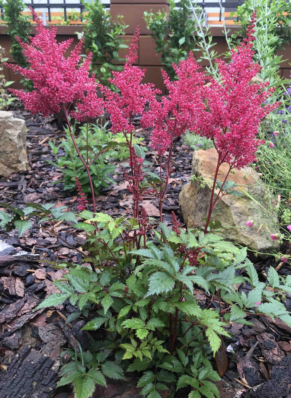 Naše barevná zahrada 🌸 - Ach čechrava 🤗 ta barvička úžasná