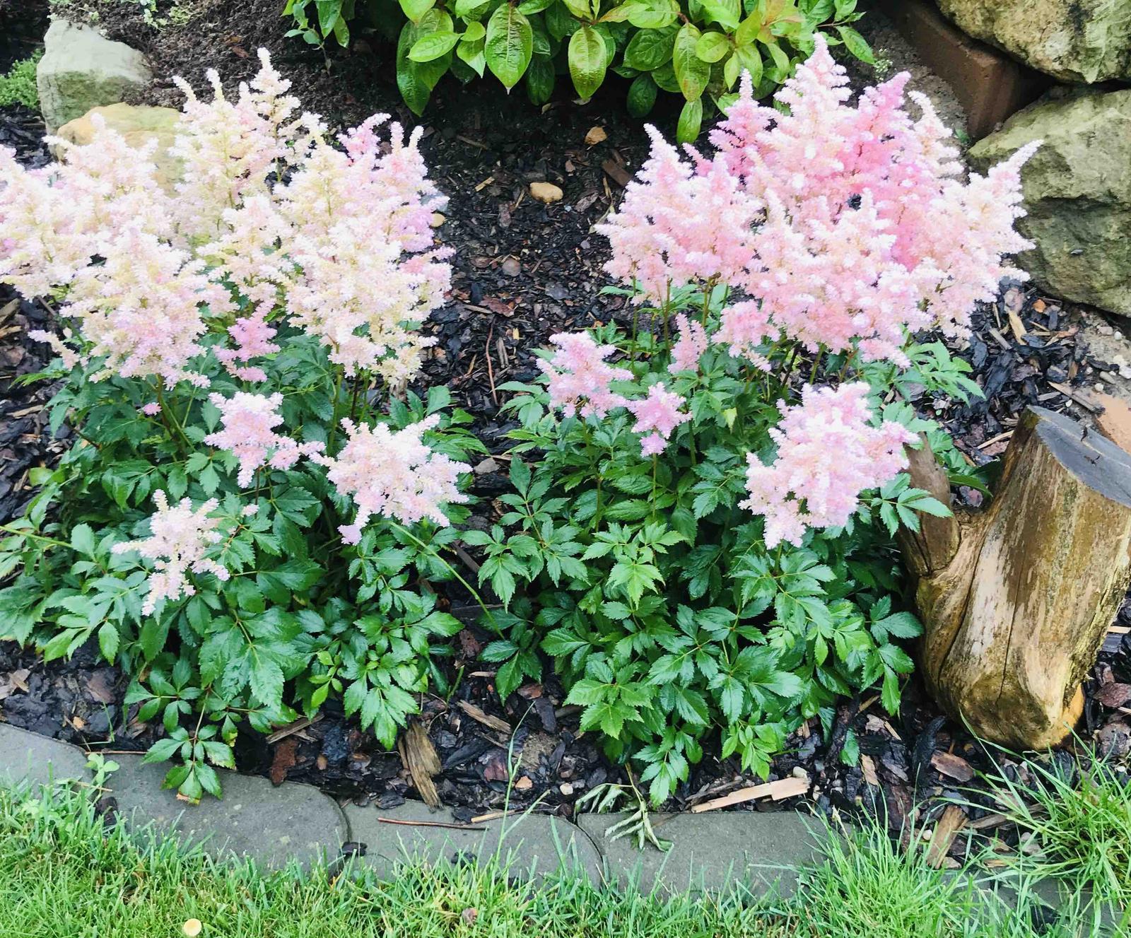 Naše barevná zahrada 🌸 - A tato jemně růžová čechrava je nádherná 🌸
