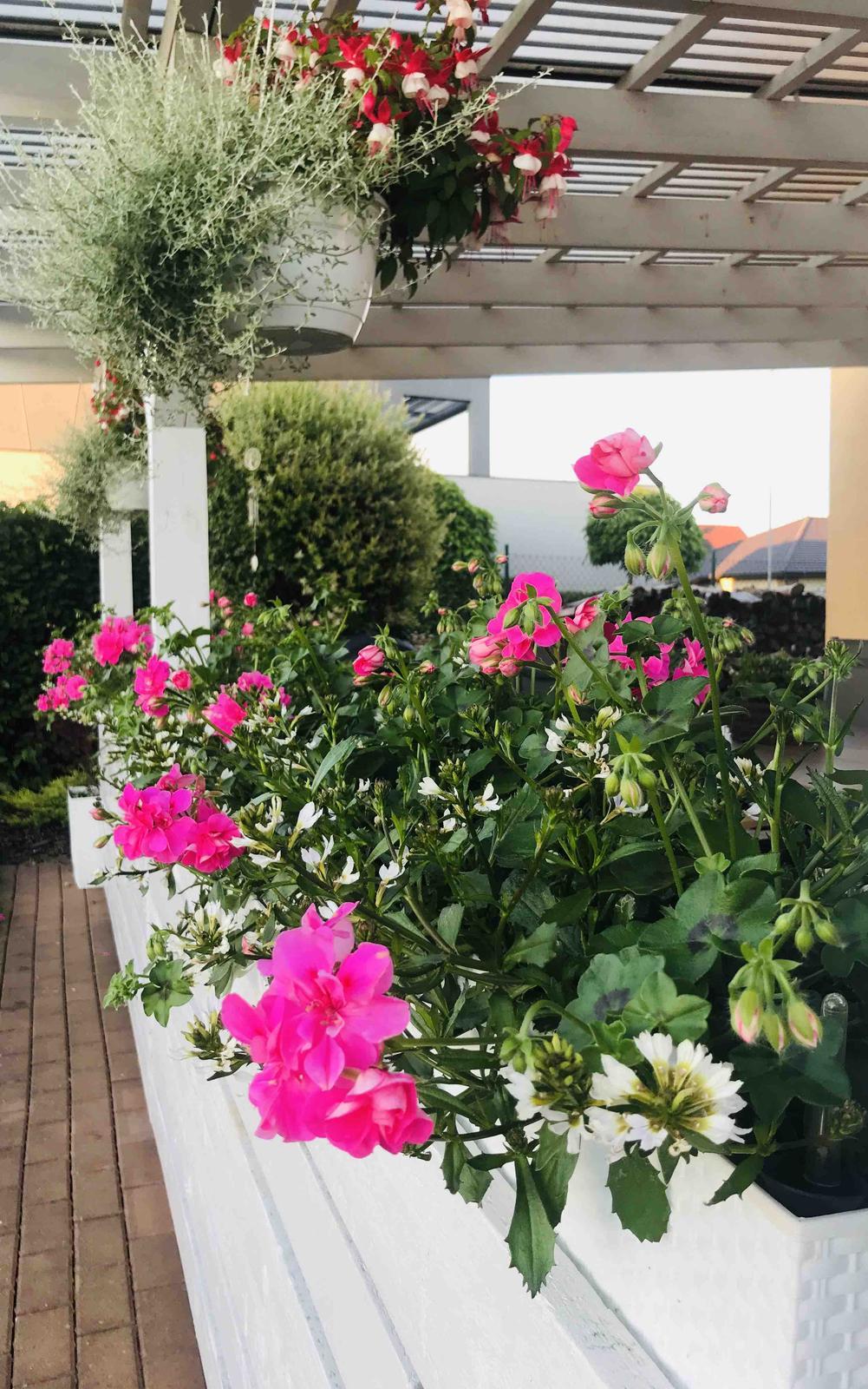 Naše barevná zahrada 🌸 - Muškáty a vějířovka 🌸 už se krásně rozrůstají