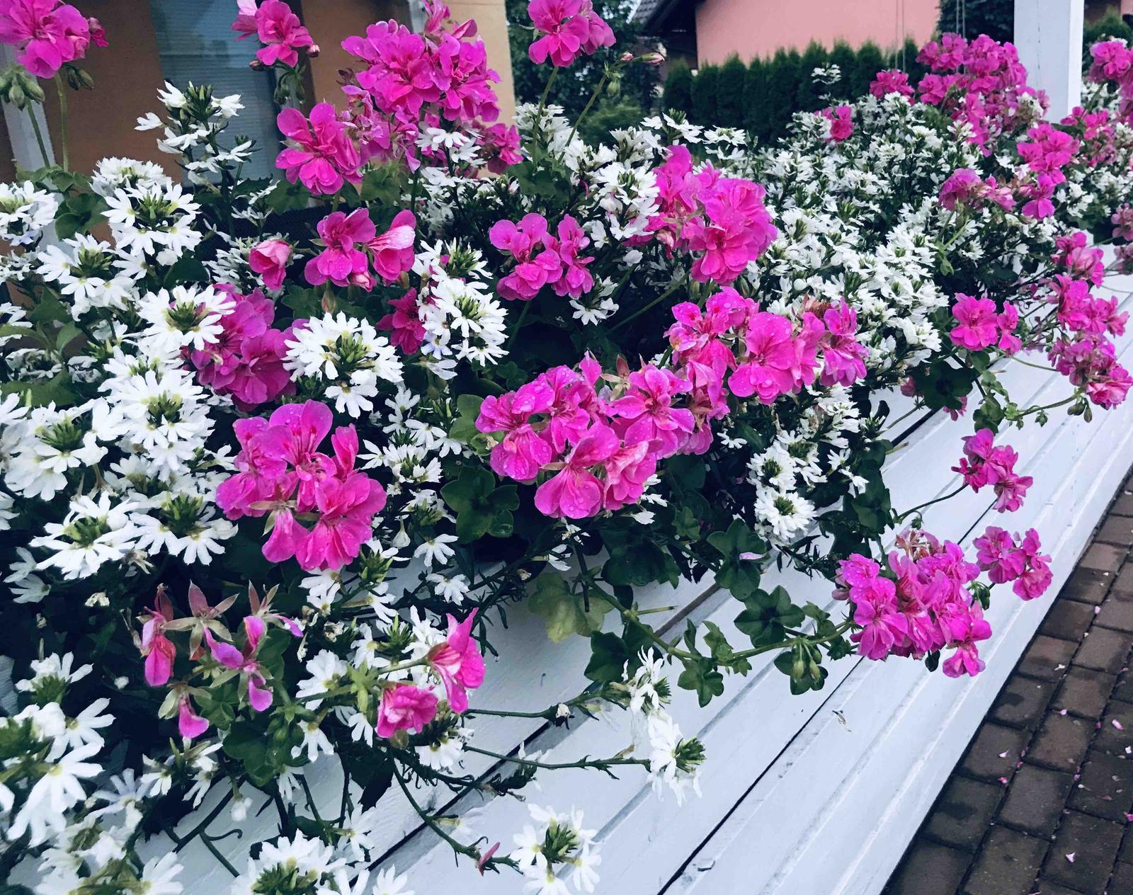 Naše barevná zahrada 🌸 - Vějířovka a maškát-osvědčená klasika