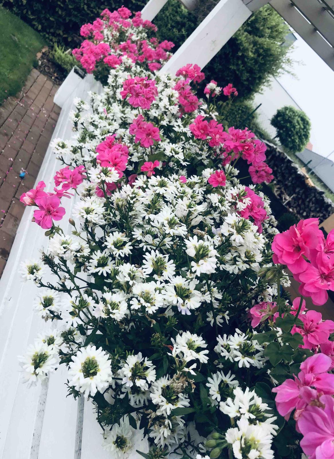 Naše barevná zahrada 🌸 - Vějířovka se nyní opravdu rozjela 🤗