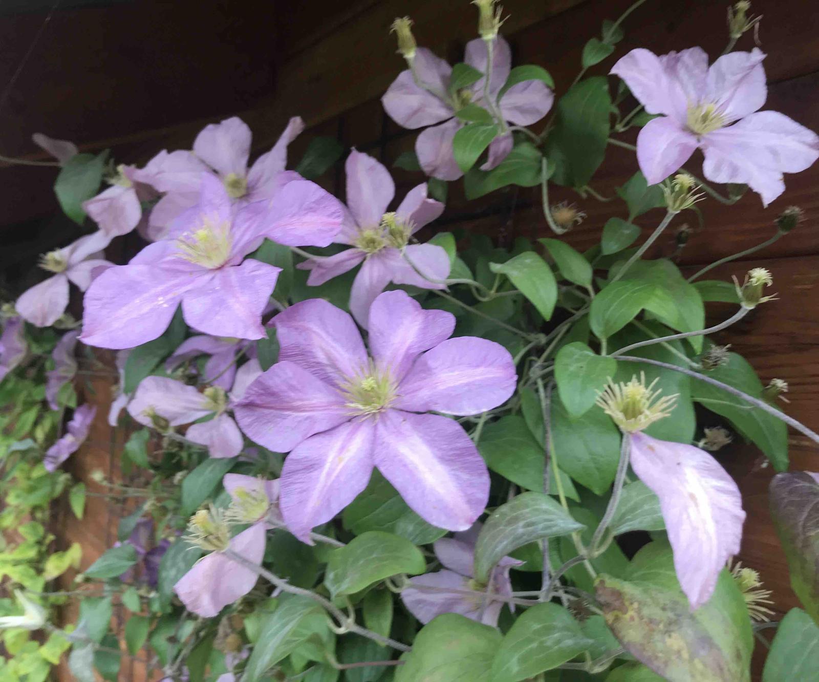 Naše barevná zahrada 🌸 - Clematis stále kvete 🤗